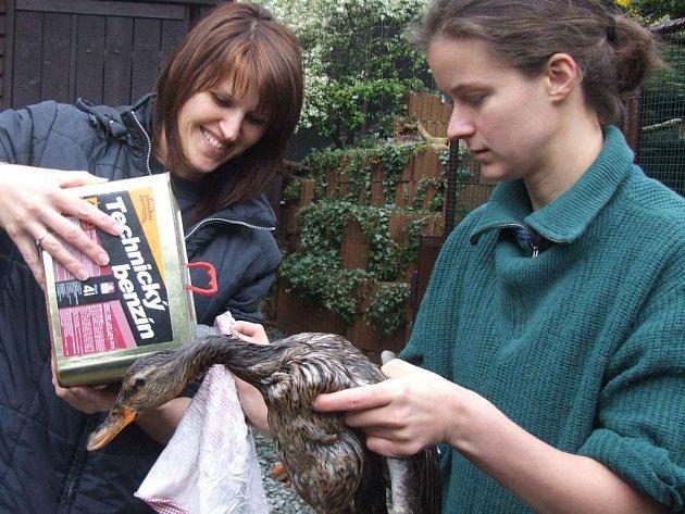 Záchrana kachny, která omylem přistála v lapači oleje místo v řece