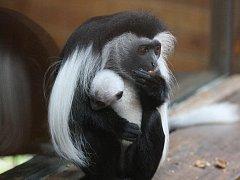 Nové opičí miminko se narodilo v plzeňské zoo páru gueréz angolských, konkrétně samičce Viky a samečkovi jménem Teo