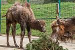 Křest mláděte velblouda v plzeňské zoo