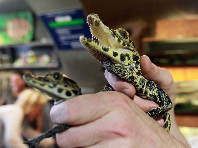 Velkem tedy už plzeňská zoo odchovala 123 mláďat krokodýla čelnatého, který dorůstá až 1,5 metru.