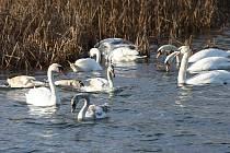 Labutě na Velkém boleveckém rybníku