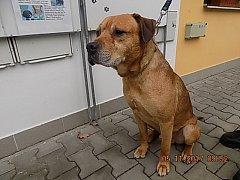 Kříženec, který v Plzni napadl a zabil jiného psa