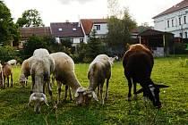 Že takové stádečko v centru Plzně nenajdete? Najdete. Patří do roudenské farmy Černá ovce  naproti spodnímu vjezdu do Fakultní nemocnice v Plzni na Lochotíně.