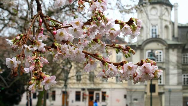 Kvetoucí sakura v plzeňských Smetanových sadech
