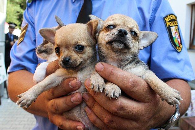 Čivavy z množírny psů jsou v útulku