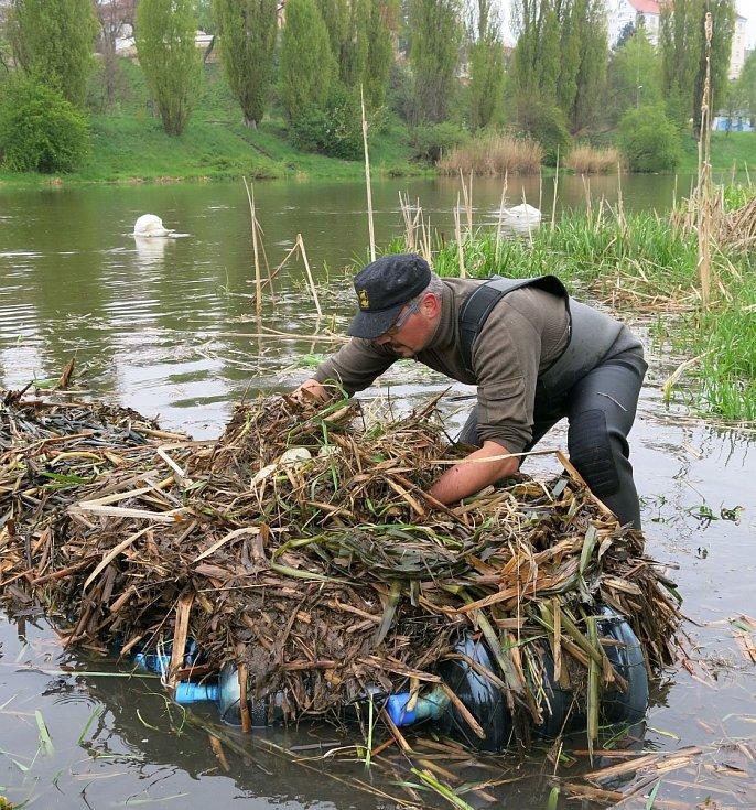 Trenér se vrátil, labutí samec prohání vodáky po Radbuze