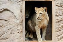 Nové lvice Tamika a Neyla jsou zatím ve svém novém domově velmi opatrné. V Plzni se nejdříve musí zabydlet.
