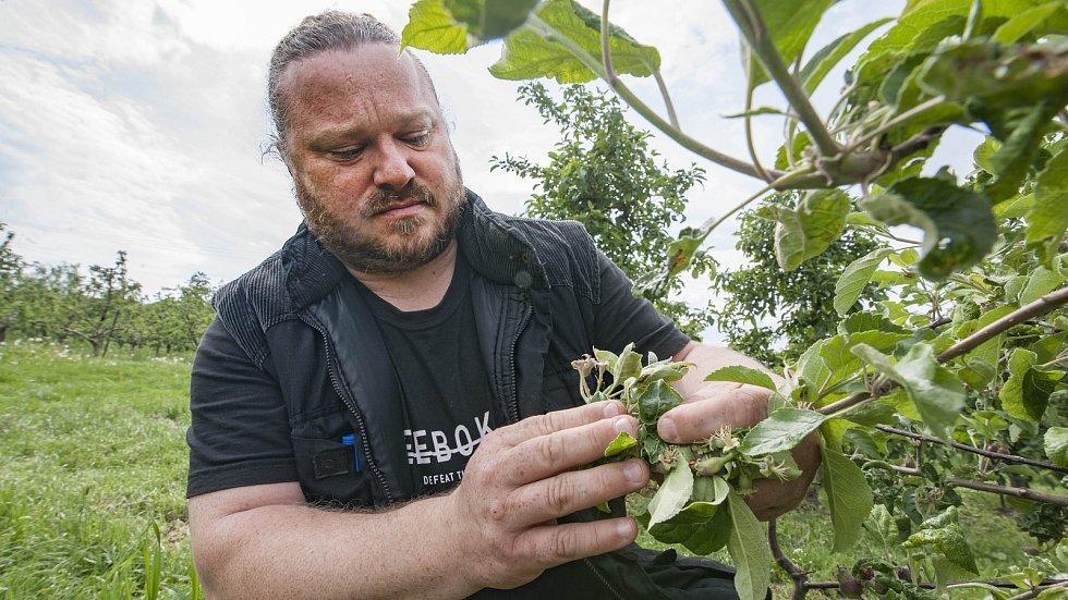 Jarní mrazy zničily úrodu. Následky si v sadech na okraji Břas prohlíží Richard Schwarz.