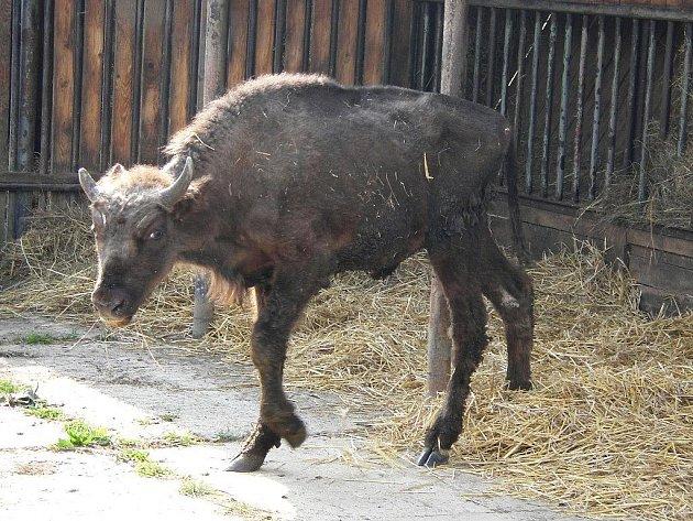 Zubožený zubří býček, patřící plzeňské zoo, po převozu od železnorudského chovatele do zooparku v Chomutově