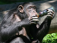 Jedenkrát ročně dostává tlupa šimpanzů z plzeňské zoologické zahrady veliký pamlsek, a to čerstvě nasbírané borůvky. Tentokrát jich hned osm litrů    nasbíraly v lesích u Krkavce děti z  příměstského tábora s názvem Deset dní s kamarády ze zoo