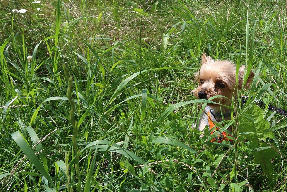 Pes se ztrácí v neposekané trávě v Brněnské ulici na sídlišti Vinice.