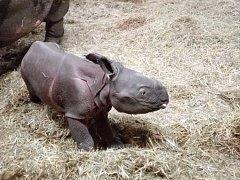 Mládě je v pořádku, po porodu se rychle postavilo na nohy a od té doby pije.