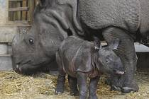 Nosorožčí mládě, kterému v zoo začali říkat Maruška, poctivě přibírá