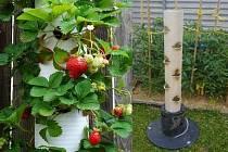 V depu vloni vyrostly také tyto jahody