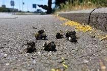 Stovky mrtvých čmeláků pod lipami v Plzni si v těchto dnech všimli lidé hlavně v městských částech Lochotín, Bory a  Slovany.
