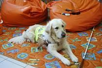 Vodicí pes Priscilla leží na koberci, vedle je položená bílá hůl.