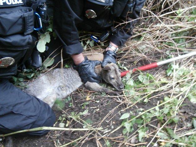 Strážníci klokana chytili