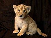 Zoo se pochlubila šestitýdenním lvíčetem