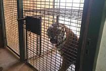 Cicero už není žádné kotě, v necelých třech letech už dávno přerostl matku Tsamaru. Plzeňská zoo jej poslala do jižních Čech a k samici se vrátí samec Bajkal