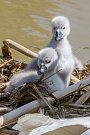 Labutí mláďata v hnízdě u řeky Radbuzy nedaleko DEPO2015 v Plzni
