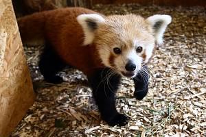 Z areálu plzeňské zoo utekla v srpnu 2019 vzácná panda červená, samec jménem Nepál.  Nebylo jasné, jakým způsobem tříleté zvíře dokázalo z výběhu uniknout.
