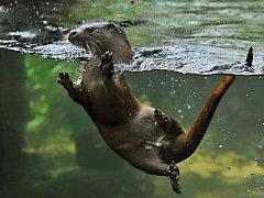 Vydra Bonifác v plzeňské zoo