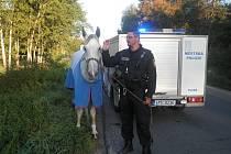 """""""Volali nás, že z Plzně směrem na Radčice je bílý kůň. Běhal v té jahodové plantáži, pak hnal po silnici na Radčice. Autem jsme ho natlačili do pangejtu, aby zpomalil, a já jsem ho chytil za ohlávku,"""" popisoval strážník Petr Kokoška zážitek."""