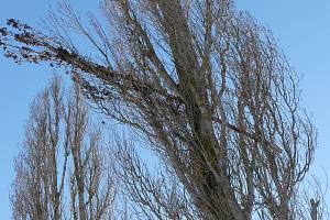 Alej topolů u Poběžovic. Stromy nejsou v dobrém stavu a hrozí pád větví na vozovku.