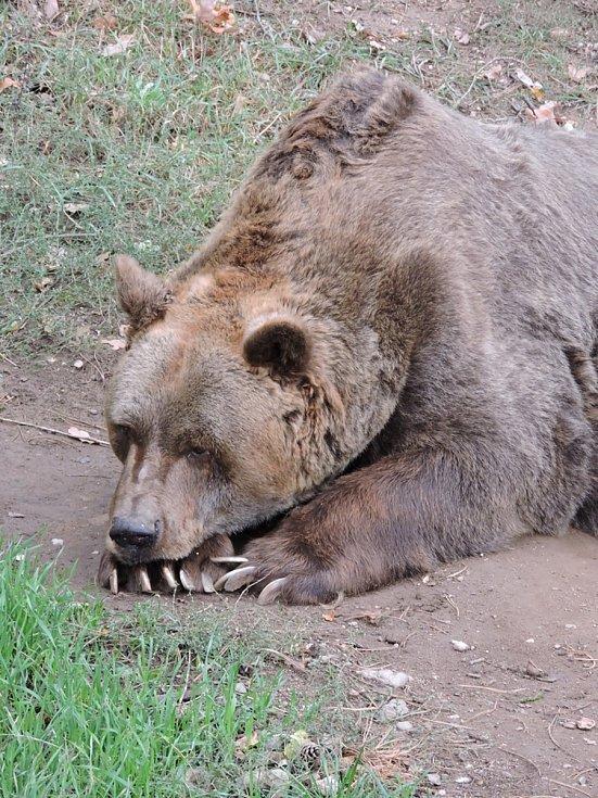 Medvěd Pišta je nejstarším medvědem hnědým v České republice.