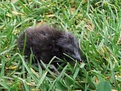Ochránce ptactva Vlastimil Voráček z Roupova se o malého chřástala, který dostal pracovně jméno Čmelák vzorně staral. Teď už mládě vychovává nová ptačí rodina v plzeňské zoo