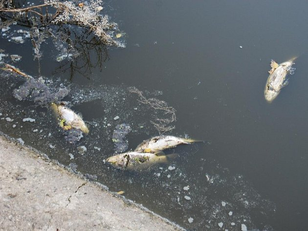 Čpavek se stal rybám osudným. Rybářskému svazu vznikla škoda ve výši asi padesáti tisíc korun.