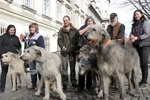 Hned šest irských vlkodavů šedé a bílé barvy se předvádělo v rámci irských dnů ve Smetanových sadech v Plzni.