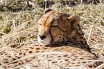 Slunce si v zoo užívá také gepard súdánský