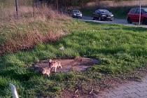 Selata prasete divokého se motala u silnice mezi Plzní a Vejprnicemi. Po příjezdu strážníků tu pobíhalo jen jedno