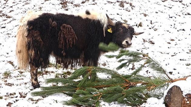 Vánoční stromečky neprodané ve velkoobchodě dorazily po roce i do plzeňské zoo, kde už si na nich pochutnávají zvířata.