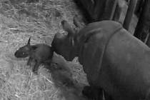 Samička nosorožce indického Manjula porodila 2. února okolo 1:30 v plzeňské ZOO první mládě. (fotka je prinscreen z webkamery na stránkách zoo)