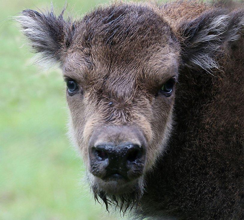 Plzeňská zoo hlásí další přírůstek, narodilo se tu zubří telátko. Nejmladší samice má jméno Onica.