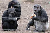 Šimpanzi v plzeňské zoo dostali opravený a rozšířený venkovní výběh.