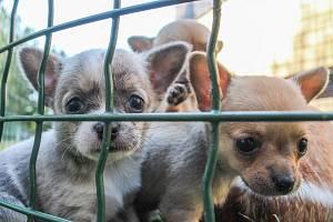 Čivavy z množírny psů
