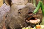 Nosorožčí slečna Maruška z plzeňské zoo oslavila první narozeniny