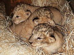 Nové přírůstky plzeňské zahrady, dva malí lvi a jedna lvice.