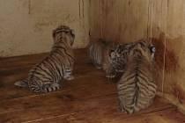 Ke třem tygřím miminkům se zatím nesmí nikdo přiblížit. Jen ošetřovatel, a ne moc blízko