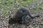 Klokan ve výběhu v plzeňské zoo