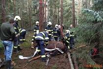 Záchrana kobyly Barunky v lese u Nevřeně