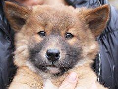 Čtyři štěňata dingů australských, která se v plzeňské zoo narodila den před Štědrým dnem, mají jména