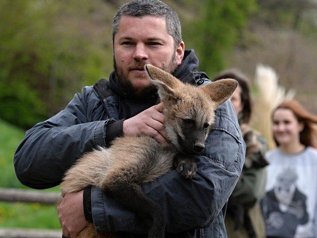 Plzeňská zoo odchovává po osmi letech vlka hřivnatého. Tři samci a jedna samice se narodili 3. února, jejich rodiči jsou Herbert a Anna.