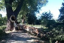Rozštípnutý staletý topol v aleji Kilometrovka