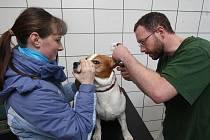 Bíglu Mikešovi léčí veterinář Pavel Mužík zánět středního ucha