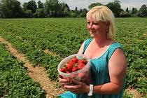 Jahodárna na plantážích mezi Plzní a městkou částí Radčice nabízí prodej jahod i levnější samosběr.