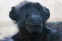 Samice šimpanze Brigitte